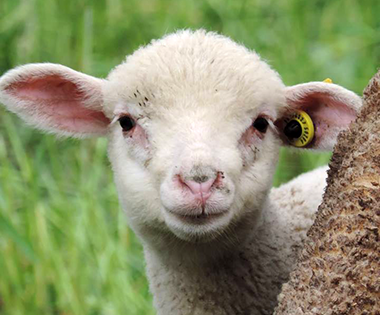 vente d'agneau Arles-foin de Crau Moules-vente a la ferme Arles-location de gite Camargue-elevage de brebis dans la Crau-vente de viande d'agneau Alpilles